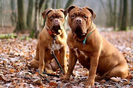 Бойцовские породы собак с названиями и фотографиями