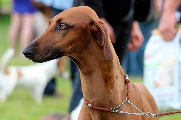 Азавак: описание породы, фото собаки, характер, цена