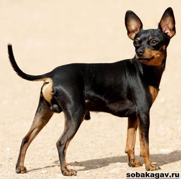 Пражский крысарик (Ратлик, Либеньская серночка) - стандарт собаки, описание породы, характер, цена щенка, фото