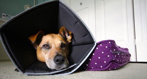 Кастрация собак - описание, плюсы и минусы, цена, уход после процедуры