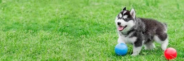 Дрессировка хаски: как правильно воспитать щенка