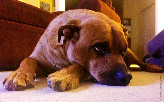Анемия у собак: виды, симптомы, причины и лечение