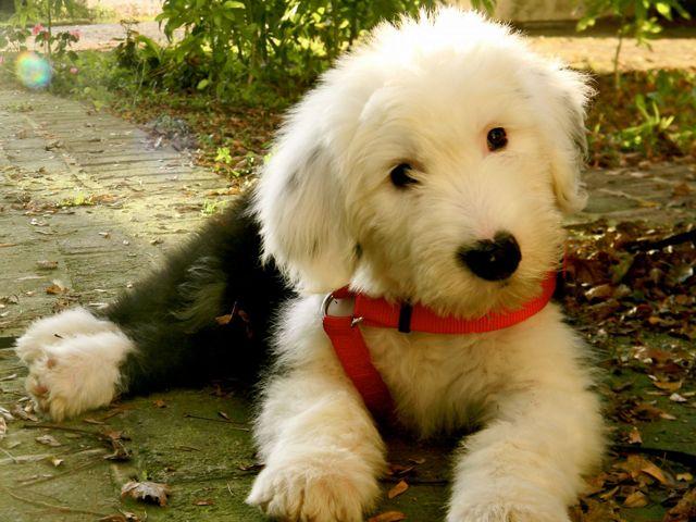 Бобтейл собака: характеристика и описание породы, фото, цена