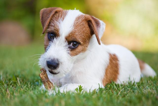 Парсон рассел терьер: описание породы, характер собаки, фото и видео