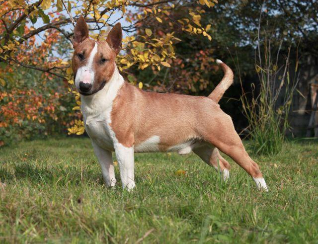 Бультерьер собака: описание породы, чем опасен, характер, фото