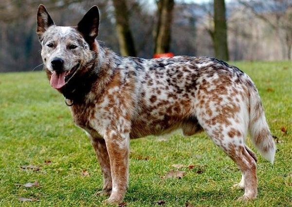 Австралийская пастушья собака (хилер): описание, цена и где купить, фото
