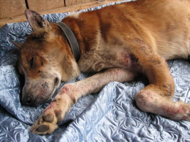 Чесотка у собак: симптомы, виды, лечение