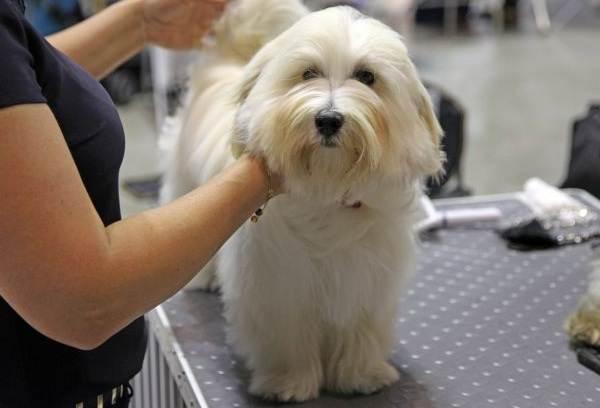Гаванский бишон: описание породы, фото, как выбрать и где купить щенка