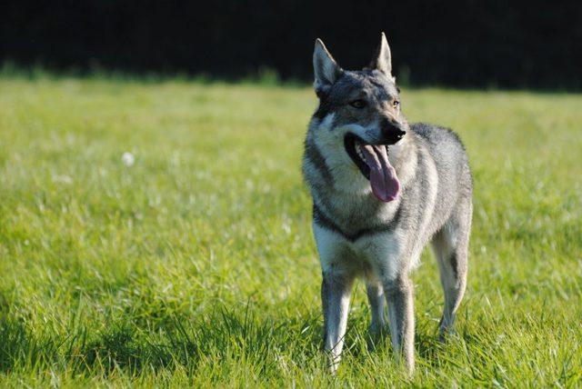 Чехословацкая волчья собака (чешский влчак) - описание породы, характер пса, фото