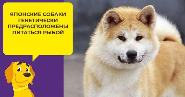 Чем кормить акита-ину: рацион щенка и взрослой собаки