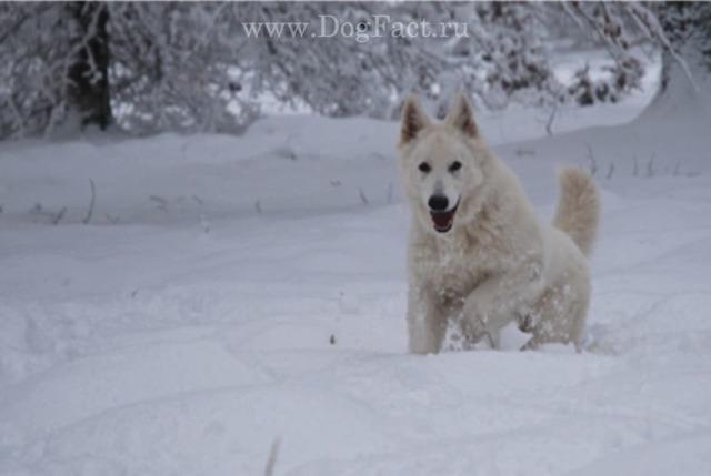 Белая швейцарская овчарка (БШО): описание породы, выбор щенка, фото
