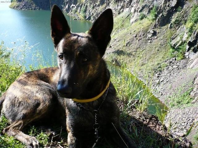 Голландская овчарка (Хердер) - описание породы собак, фото, цена щенков