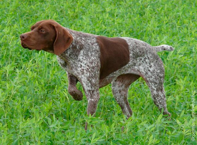 Зачем собакам купируют (обрезают) уши и хвосты