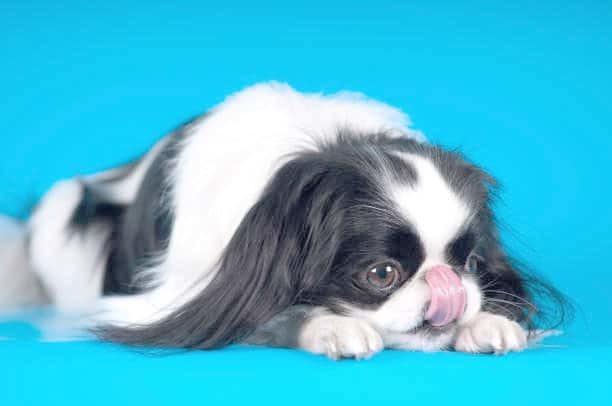 Японский хин - описание породы, фото собаки, характер, цена, отзывы