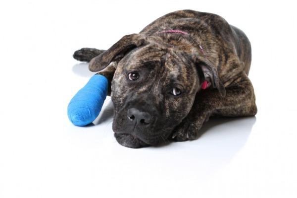 Чем обработать рану собаке - рана после укуса, пореза, открытая