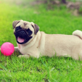 Пагль собака: описание породы, характер, фото, отзывы о пагли