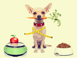 Чем и как кормить чихуахуа в домашних условиях: щенка и взрослого