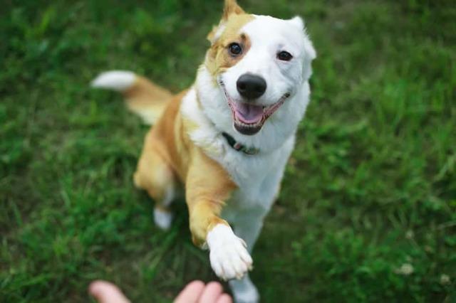 Как научить собаку давать лапу: взрослую и щенка