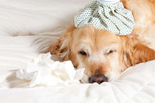 Пневмония (воспаление легких) у собак: симптомы и лечение