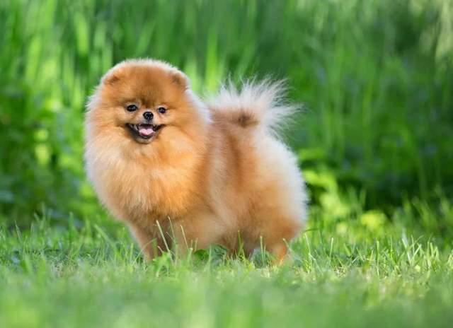 Пушистые породы собак ТОП-30 cамых лохматых и с длинной шерстью с описаниями, фото и отзывами владельцев