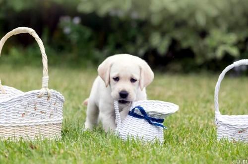 Чем кормить лабрадора: рацион питания щенка и взрослой собаки