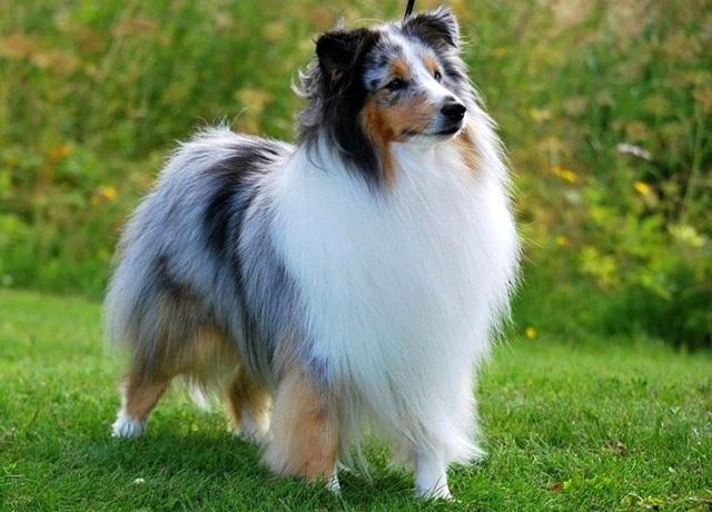 Белые породы собак Топ-23 белоснежных собак: пушистые, маленькие с фото и видео