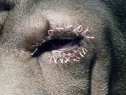 Третье веко у собаки: описание, лечение воспаления и профилактика