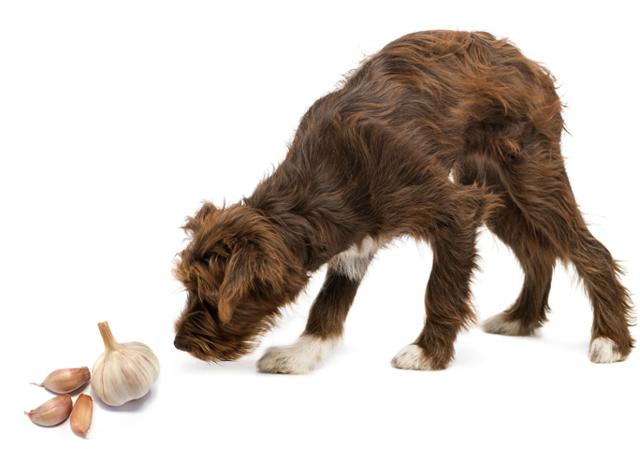 Можно ли давать собакам чеснок и лук: репчатый, зеленый и вареный