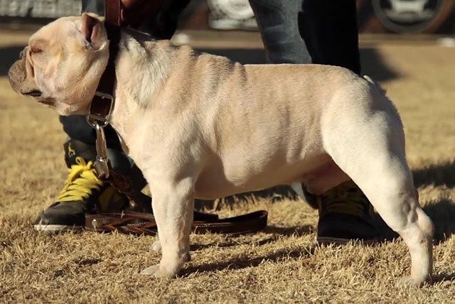 Вес французского бульдога норма, таблица веса по возрасту щенка, советы