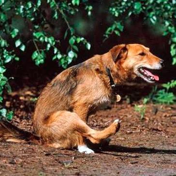 Почему собака ездит на попе по земле и полу: причины и лечение