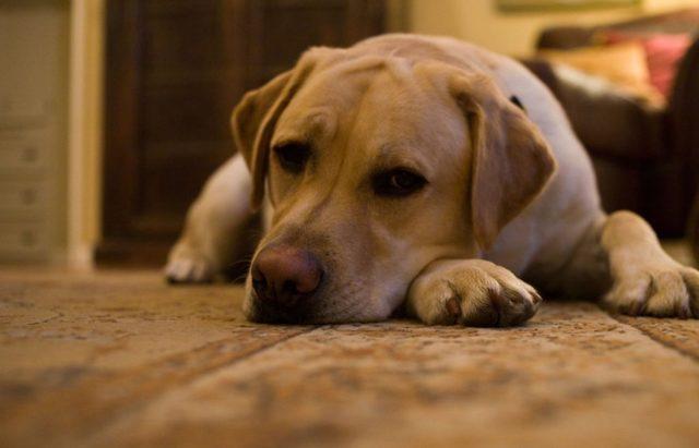 Отит у собак: виды, симптомы и лечение
