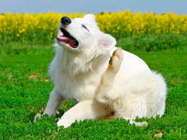 Блохи у собаки: симптомы, средства, как вывести