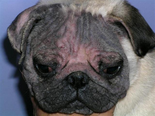 Демодекоз у собак: что это, стадии, симптомы, как и чем лечить