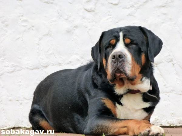 Большой швейцарский зенненхунд (гросс) - фото, описание породы, характер, цена