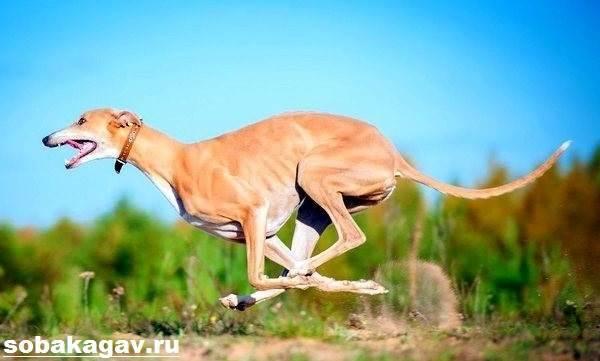 Грейхаунд собака: описание породы, характер, как выбрать и где купить щенка