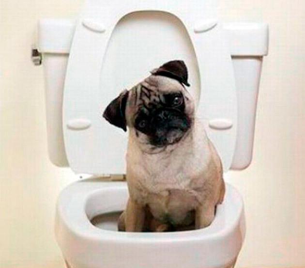 Как приучить мопса к туалету, пеленке и лотку