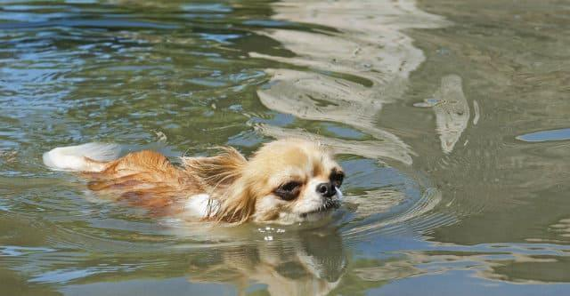 Как правильно купать чихуахуа как часто мыть чихуахуа