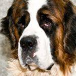 Лучшие породы собак для детей - для квартиры и частного дома с фото и описанием