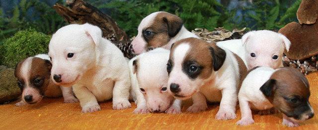 Чем кормить джек рассел терьера: правильное питание взрослой собаки и щенка