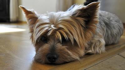 Собака грызет и кусает задние или передние лапы - причины и что делать?