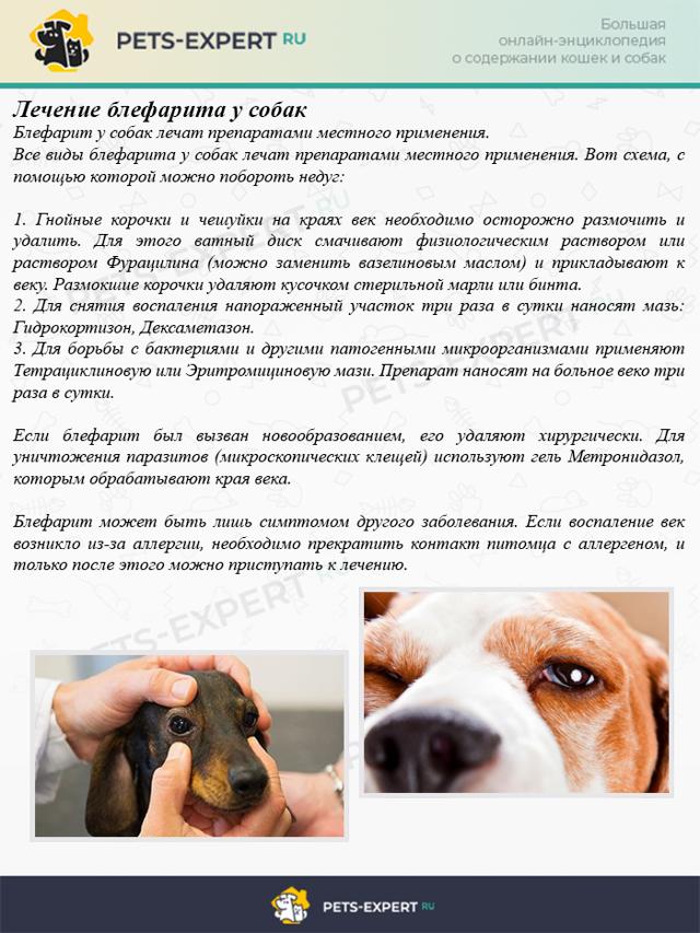 Блефарит у собак: симптомы, диагностика, лечение, фото