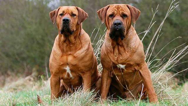Тоса ину (японский мастиф) собака: описание породы, характеристики, цена и где купить щенка, фото