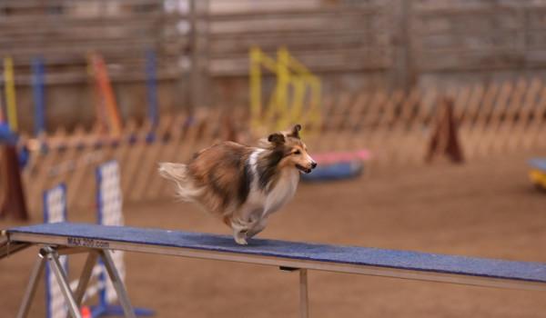 Аджилити для собак: что это такое, какие породы подойдут