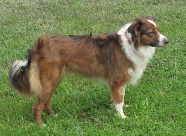 Английская овчарка: описание породы, фото, цена и где купить щенка