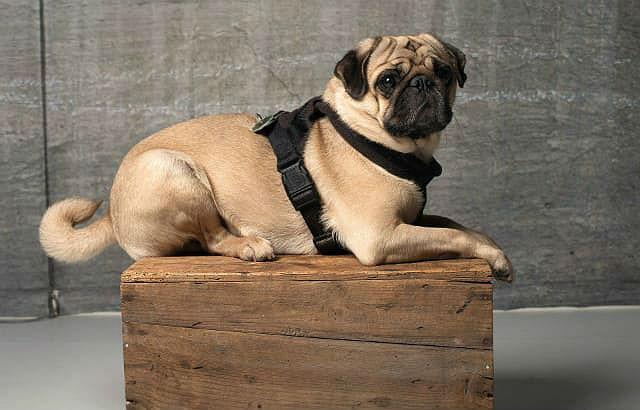 Как ухаживать за мопсом: уход и содержание щенка и взрослой собаки