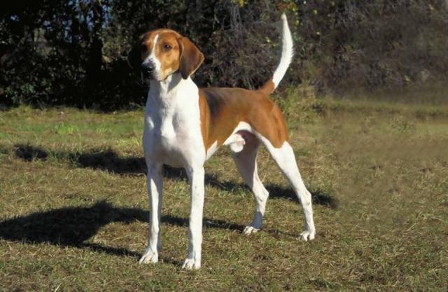 Гончая порода собак с названиями и фотографиями