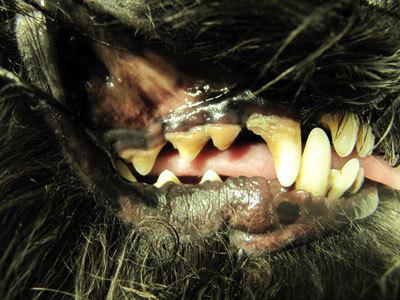 Пародонтоз у собаки: причины, симптомы, лечение