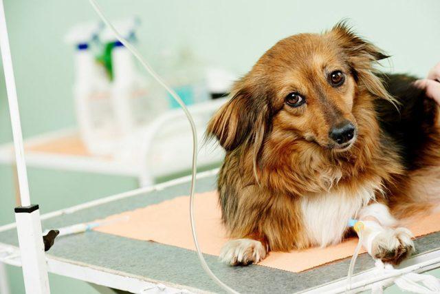 Пульс у собаки - норма, как измерить и определить патологию