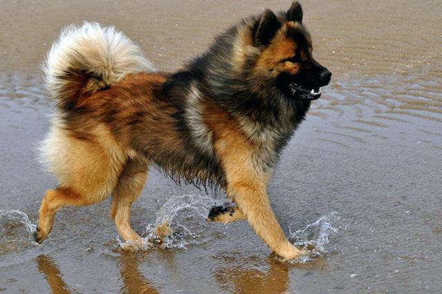 Евразиер: описание породы, уход, фото, цена и где купить щенка