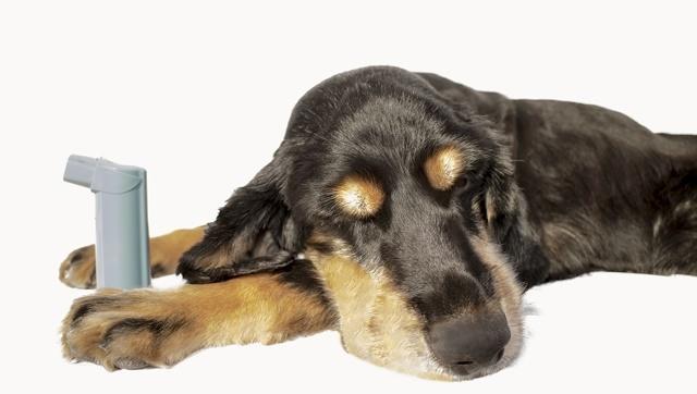 Астма у собак: описание, причины, как проявляется и лечение